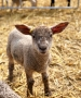 Lamb Week at Lower Drayton Farm