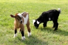 Baby Goats Galore & More