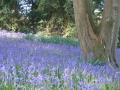 Combermere Abbey's Annual Bluebell Walk