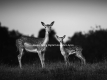 Exclusive wild Fallow Deer Photography Photo-Walk with Marc Ayres